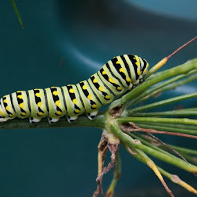 Monarch butterfly catepillar by Dianne Collins - Animals Insects & Spiders (  )