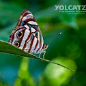 Mexican sailor butterfly