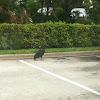 Black Vulture (New World)