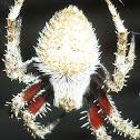 hairy field spider