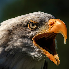 Angry Bald Eagle  by Graham Mulrooney - Animals Birds ( eagle, bird of prey, large beak, bald eagle, wildlife, bird, predator, haliaeetus leucocephalus, natural history, nature, american, horizontal, raptor, berkshire, animal,  )