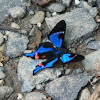 Periander Swordtail