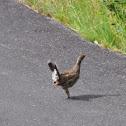 Dusky Grouse (hen)