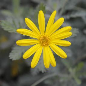 Hello Yellow by Frank Gualtieri - Flowers Flower Gardens (  )