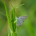 Short-tailed Blue or Tailed Cupid (female)