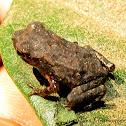 Kelaart's toad