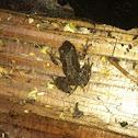 Sierra tree frog