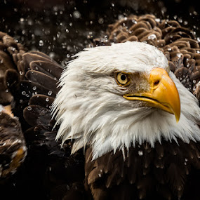 Shake It Off by Michael Pachis - Animals Birds ( bird of prey, eagle, bald eagle, memphis zoo, raptor, bird bath,  )