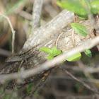 Brown Anole Lizard