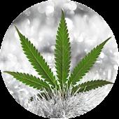 News of marijuana seeds