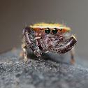 Golden hair Jumping spider