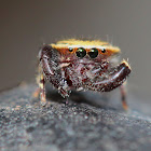 Golden hair Jumping spider