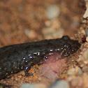 Dusky Salamander