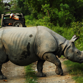 Rhino-Crossing the road by Kisor Mukhopadhyay - Animals Other Mammals
