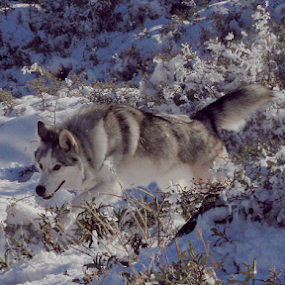 by Viks Pix - Animals - Dogs Running ( german, pose, wolf, playing, shepherd )