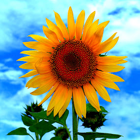 Sun Flower by Vijayanand Kandasamy - Flowers Single Flower ( nature, single flower, sun flower, yellow, flower, , Hope )