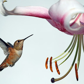 Rufous and Lily by Lynne McClure - Animals Birds ( flight, lily, nature, hummingbird, rufous, , bird, fly )