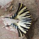 Spanish Swallowtail; Chupaleche