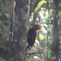 Blond-crested Woodpecker (Male)