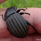 Large Armoured Darkling Beetle