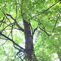 Bigleaf maple (Broadleaf or Oregon maple)