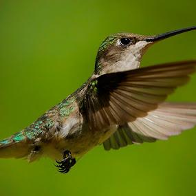 > by Roy Walter - Animals Birds ( flight, animals, wings, hummingbird, wildlife, feathers, birds )