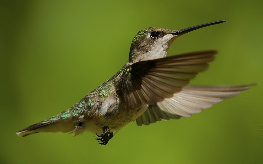 > by Roy Walter - Animals Birds ( flight, animals, wings, hummingbird, wildlife, feathers, birds )