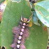 Lappet Moth caterpillars