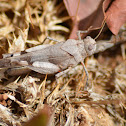 The blue-winged grasshopper