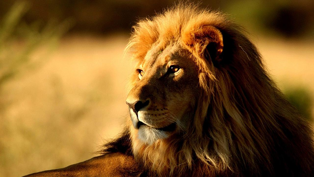 Lions live wallpaper android apps on google play for Immagini leone hd