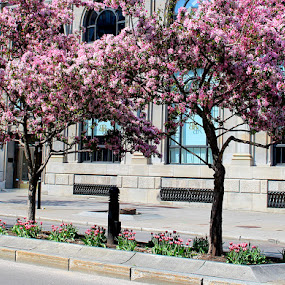 Downtown Montreal Cherry Trees by Ronnie Caplan - City,  Street & Park  Street Scenes ( montreal, building, colorful, street, windows, island, cherry, girl, trunks, trees, flowers, branches, downtown, grates,  )