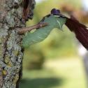 Poplar Hawk Moth Caterpillar