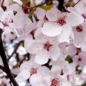 Cherry Blossom Theme 2 logo