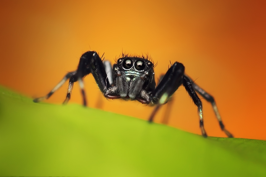 spider by Dhimas Prastowo - Animals Insects & Spiders ( #nature, #insect, #bugs, #spider, #macro,  )