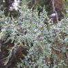 Eastern Red Cedar berries