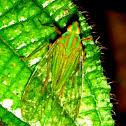 Dictyopharidae plant hopper
