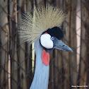 Grey cowned crane