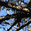 Moss/ Orthotrichum epiphytic bryophyte