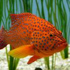 Coral Trout Grouper