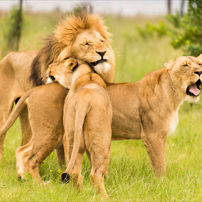 Family Love by Richard Ryan - Animals Lions, Tigers & Big Cats (  )