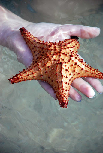 starfish-on-St-Kitts - A starfish, or sea star, on Saint Kitts in the Caribbean.