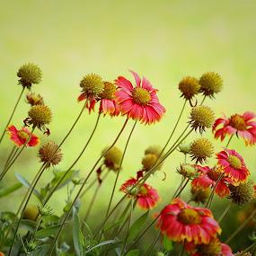 Spring is here... by Kamelia Dandapat - Flowers Flower Gardens ( blanket flowers, seasonal, nature,  )