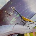 Mexican Unicorn Praying Mantis