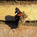 Painted Lady/ Cosmopolitan Butterfly// Vanesa de los cardos