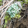 Resurrection Cladonia (Lichen)