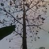 Silk Cotton tree/ kapok tree