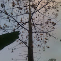 Silk Cotton tree/ kapok tree