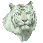 White Tiger Head Sticker