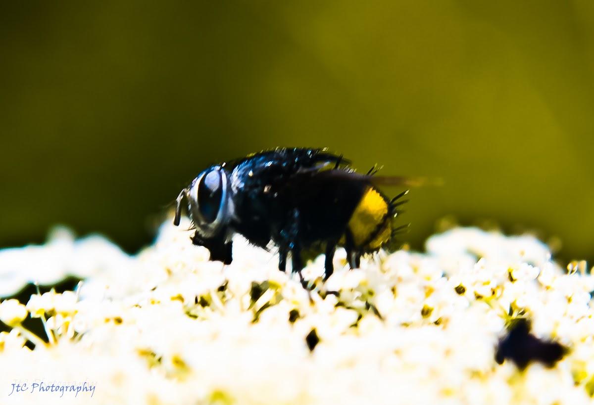 Borealis Tachinid Fly