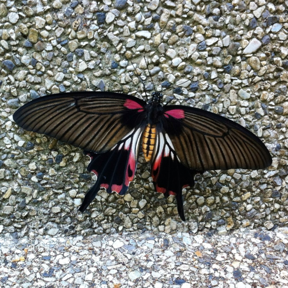 The Great Mormon Butterfly